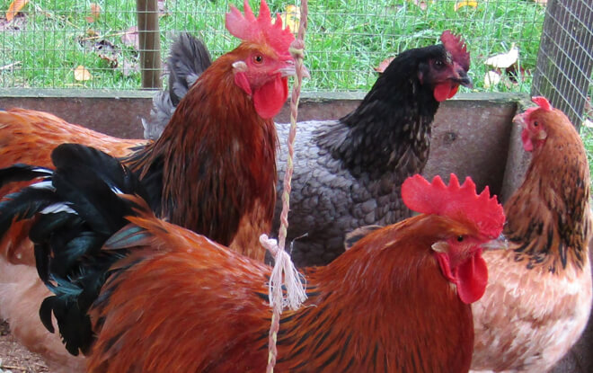outdoor-education-activities-chickens